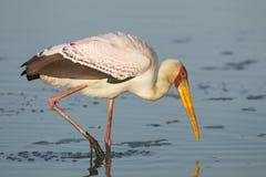Gele Gefactureerde Ooievaar die (Mycteria-ibis) in water, Zuiden Afri vissen stock foto