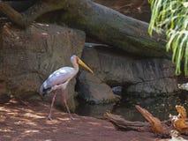 Gele gefactureerde ooievaar, (Mycteria-ibis) stock foto's