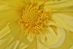 Gele gekleurde Dahliabloem royalty-vrije stock afbeeldingen
