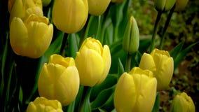 Gele gekleurde tulpen op aardachtergrond stock video