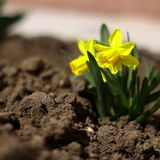 Gele gele narcis Royalty-vrije Stock Foto