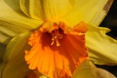 Gele gele narcis Stock Fotografie