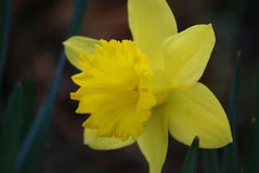 Gele gele narcis Royalty-vrije Stock Foto's