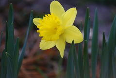 Gele gele narcis Royalty-vrije Stock Afbeelding