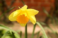 Gele gele narcis Royalty-vrije Stock Afbeeldingen