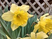 Gele Gele narcis door een rooster stock afbeeldingen