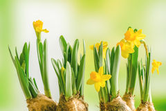 Gele gele narcis lilys op een groene achtergrond Stock Foto