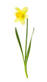 Gele gele narcis op witte achtergrond Royalty-vrije Stock Foto's