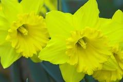 Gele gele narcisbloemen Royalty-vrije Stock Foto's