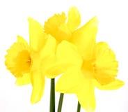 Gele gele narcisbloemen die, de lentethema bloeien Royalty-vrije Stock Afbeeldingen