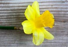 Gele gele narcisbloemen die, de lentethema bloeien Royalty-vrije Stock Afbeelding