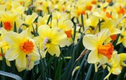 Gele gele narcissen stock afbeelding