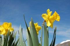 Gele gele narcissen Stock Foto
