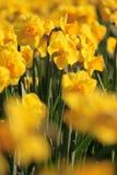Gele gele narcissen Stock Foto's