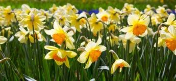 Gele gele narcissen in de tuin Royalty-vrije Stock Foto