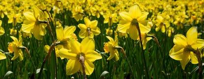 Gele gele narcissen in de tuin Stock Afbeelding
