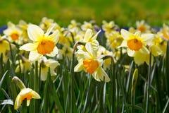 Gele gele narcissen in de tuin Stock Fotografie