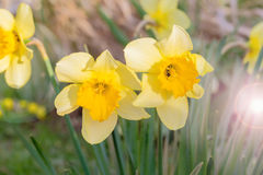 Gele gele narcissen in een de lentetuin in de avond zon Royalty-vrije Stock Fotografie