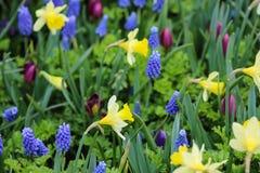 Gele gele narcissen en blauwe druivenhyacinten Stock Foto