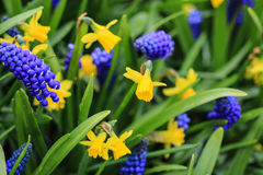 Gele gele narcissen en blauwe druivenhyacinten Royalty-vrije Stock Fotografie