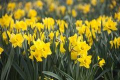 Gele Gele narcissen (Narcissen) bloemen Royalty-vrije Stock Fotografie