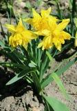 Gele gele narcissen, narcissen - de lentebloemen in de tuin Stock Foto