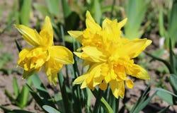 Gele gele narcissen, narcissen - de lentebloemen in de tuin Stock Afbeelding