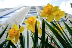Gele gele narcissen (narcissen, jonquille) in de lente Royalty-vrije Stock Afbeelding