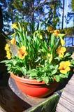 Gele gele narcissen (narcissen, jonquille) en pansies in de lente Royalty-vrije Stock Afbeelding