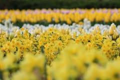 Gele gele narcissen op een gebied met tulpen stock afbeeldingen