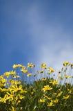 Gele gele narcissen tegen hemel Royalty-vrije Stock Afbeeldingen