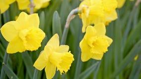 Gele gele narcissenslingering in de wind stock videobeelden