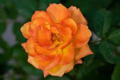 Gele gemengd roze nam bloeiend in de tuin toe royalty-vrije stock afbeelding