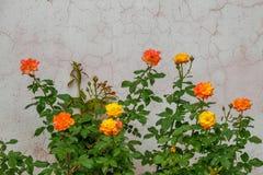 Gele gemengd roze nam bloeiend in de tuin, toenam installaties toe stock afbeelding