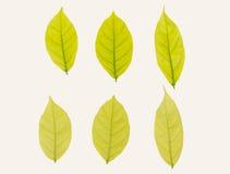 Gele geplaatste bladeren Stock Foto