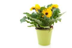 Gele gerber in groene emmer Royalty-vrije Stock Fotografie