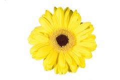 Gele gerber op wit Royalty-vrije Stock Afbeelding