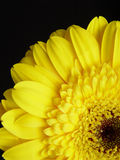 Gele Gerbera Daisy Black Background Royalty-vrije Stock Foto's