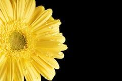 Gele Gerbera Daisy Black Background met druppeltje stock afbeelding