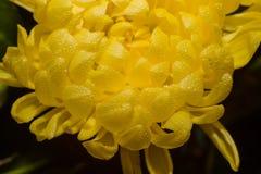 Gele gerberabloem op zwarte stock foto