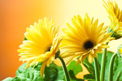 Gele gerberabloemen Royalty-vrije Stock Foto's