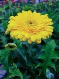 Gele gerberamadeliefjes Royalty-vrije Stock Afbeelding