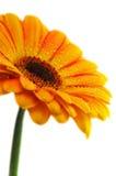 Gele gerberbloem met dalingen Stock Afbeeldingen