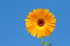 Gele gerberbloem tegen blauw royalty-vrije stock foto