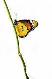 Gele geïsoleerde. vlinder op een tak Stock Afbeelding