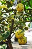 Gele gestreepte oranje fruitboom Royalty-vrije Stock Afbeeldingen