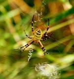 Gele gestreepte spin royalty-vrije stock afbeeldingen