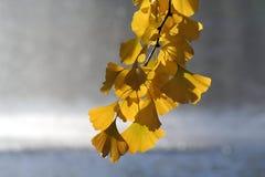 Gele gingkobladeren Stock Afbeeldingen