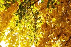 Gele gingkobladeren Stock Foto
