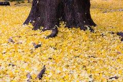 Gele Ginko-bilobabladeren gevallen op grond Royalty-vrije Stock Afbeelding